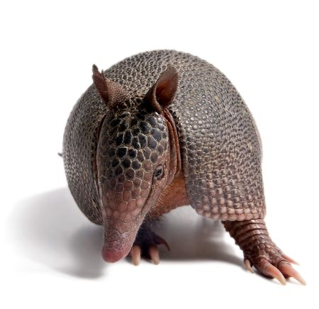 viviparous: Mulita, Armadillo of six bands, on to white background.