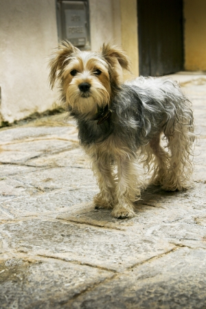 Small Dog Yorkshire Terrier looking at the camera