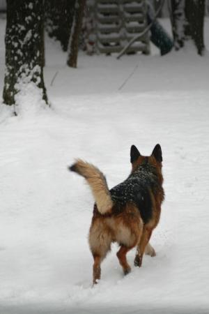 The German Shepherd walks in the park in winter Stock Photo