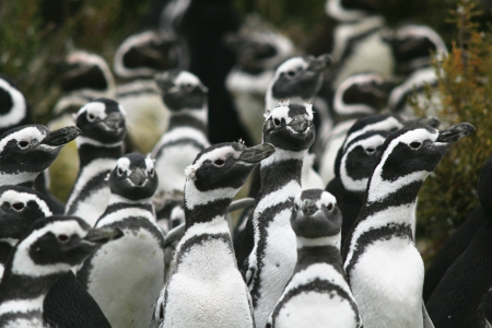 Colony of Magellanic penguins on the beaches of the South Atlantic