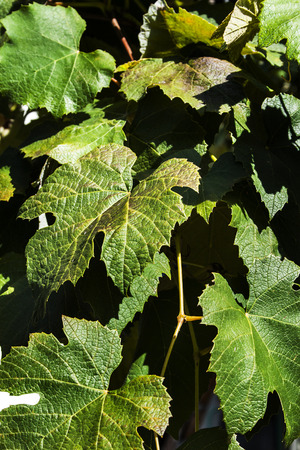 Grape leaves on vine Stock Photo