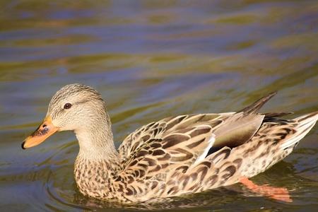 Energetic little brown duck