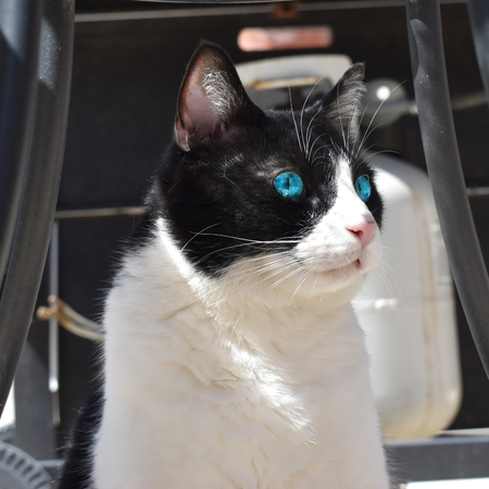 black and white cat with big blue eyes