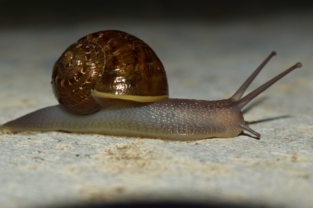 Slow moving snail mollusk carrying his spiral brown shell