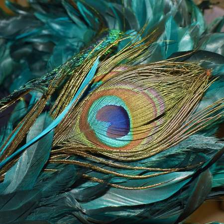 Peacock feather with teal feathers surrounded