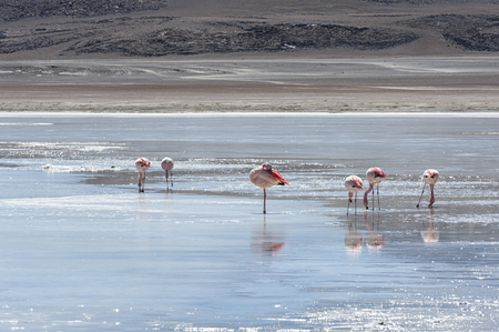Pink Flamingos at Laguna Honda - Bolivia, is a lake located at 4.114 meters above sea level in the Bolivian PotosÃƒÆ Department - Bolivia