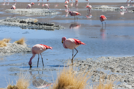 Pink flamingos at Laguna Chiarkota - Chair KKota is a shallow lake in the southwest of the altiplano of Bolivia, close to the border with Chile Stock Photo