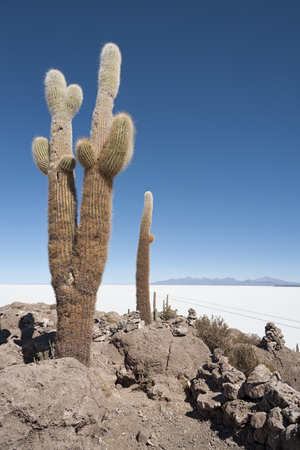 Trichoreceus Cactus on Isla Incahuasi - Isla del Pescado - Salar de Uyuni, Bolivia - South America