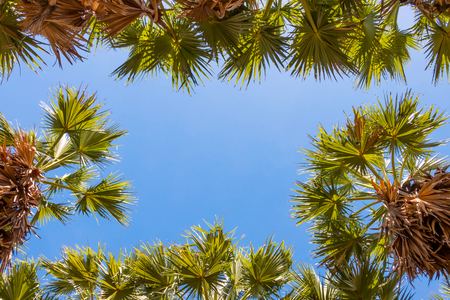 sugar palm: fresh green sugar palm tree leaves  in blue sky for background