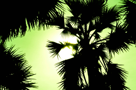 sugar palm: silhouette sugar palm tree Stock Photo