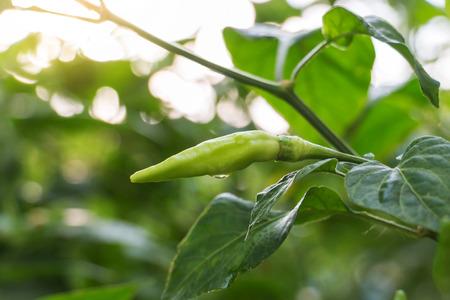 fresh green chili in garden