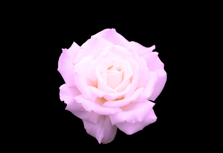 isolated single pink rose over black background