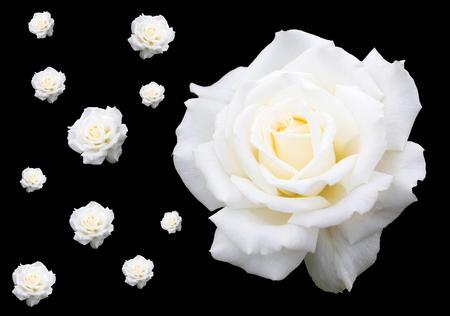 multiple white roses on black background