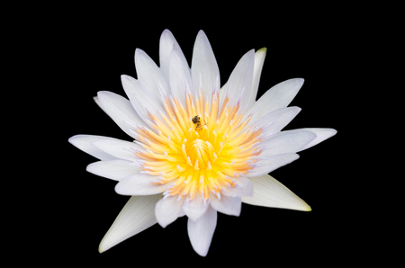 isolated blossom lotus with bee on black background Stock Photo