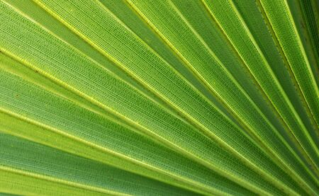 diagonal lines of young green palm leaf for abstract background