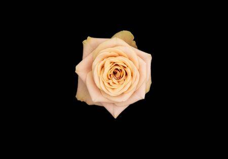 isolated single beautiful full bloom rose on black background Banco de Imagens