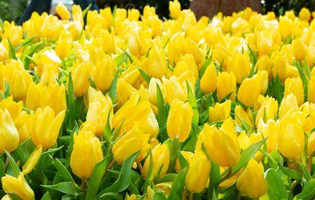 beautiful fresh yellow tulips in garden for background