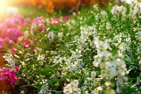 white wild flowers in garden at sunset Stock Photo