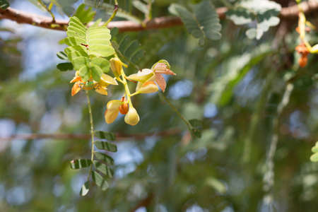 new tamarind flower growing in summer for background Archivio Fotografico