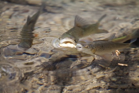 Two fish race and fight for food. photo