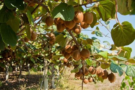 kiwi fruta: Foto de kiwis maduros en un jardín de kiwi.