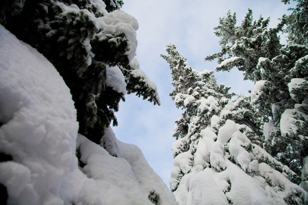 Fir trees with lots of snow and blue sky, vertical photo