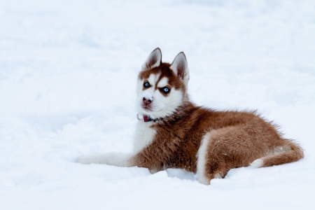 Little husky with blue eyes laying on the snow