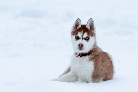 pedigree: Little husky with blue eyes sitting in the snow Stock Photo