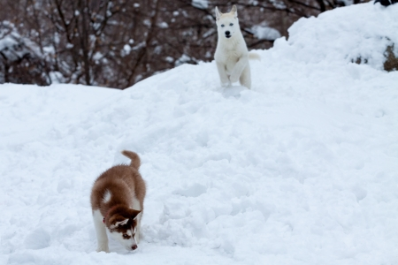 prowling: Little white husky prowling for another little husky