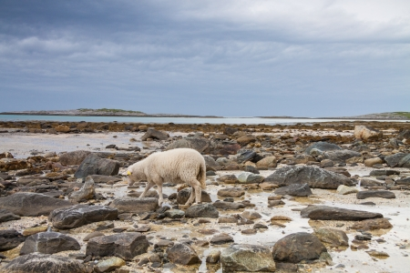 Sheep walking between the rocks during a lowtide in Northern Norway photo