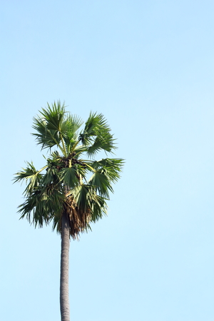 palmyra palm: Asian Palmyra palm