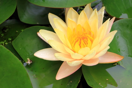 yellow lotus photo