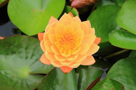 Orange lotus photo