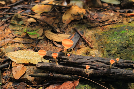 Tarzetta Rosea ( Rea) Dennis Mushroom on the timber photo