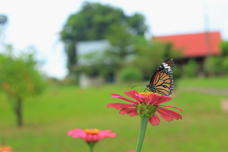 brown butterfly on the zinnia flower photo