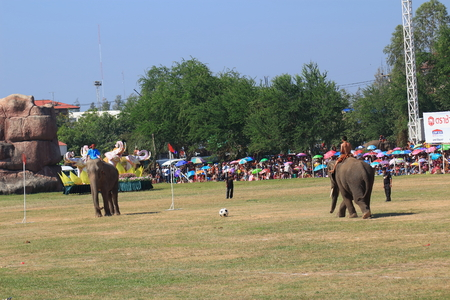surin: Surin-November 15,2014; Elephant playing football in Surin Elephant Round-up 2014 Editorial
