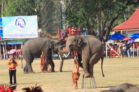 surin: Surin-November 15,2014; Elephant standing on the chair in Surin Elephant Round-up 2014 Editorial