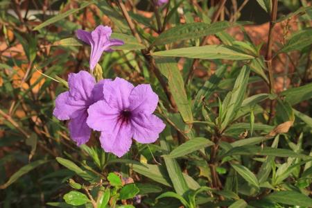 fever plant: violet color of Hygrophila erecta (Burm.)Hochr. flower