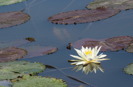 white lotus with reflection and the leaf photo