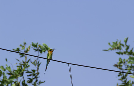 tailed: blue tailed bee eater on the electricity wire