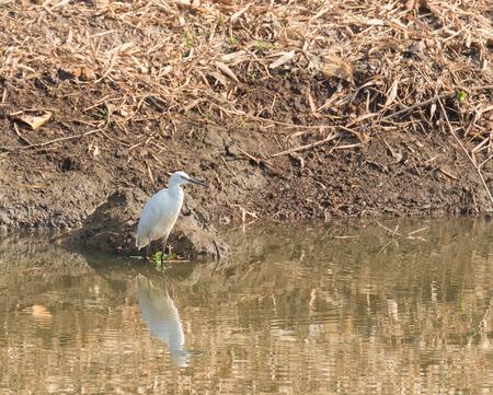 bittern: little egret bird standing in the river