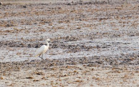 bittern: little egret bird standing in the rice field