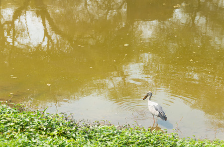 dread: Stork bird on the canal looking for food
