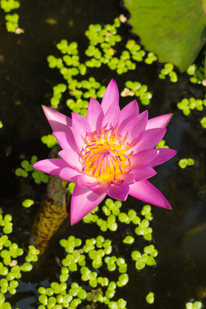 purple lotus: purple lotus with the leaf under sunlight