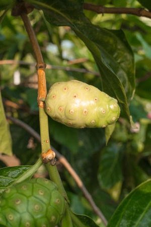 plant antioxidants: fruit of Morinda citrifolia L with the leaf