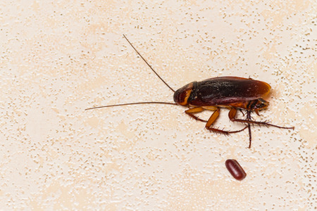 the dead cockroach with cockroach eggs