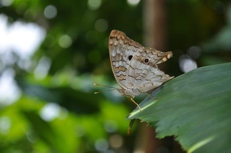 갈색 나비