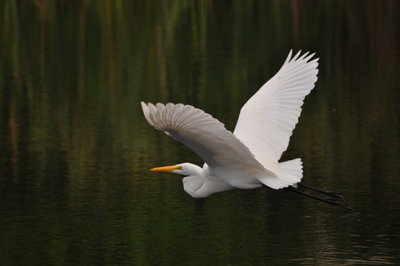heron: Great White Heron Stock Photo