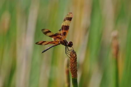 Banded Flutterer Dragonfly Stock Photo - 10872222