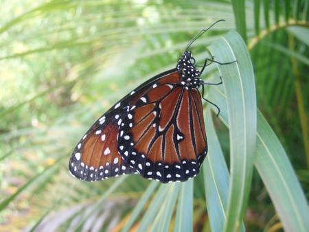 palm frond: Monarch Butterfly su Palm Frond